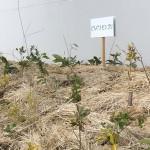 ガール施肥作業1